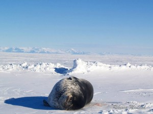 Within hours of a dive hole being made, we would be visited by Weddell Seals