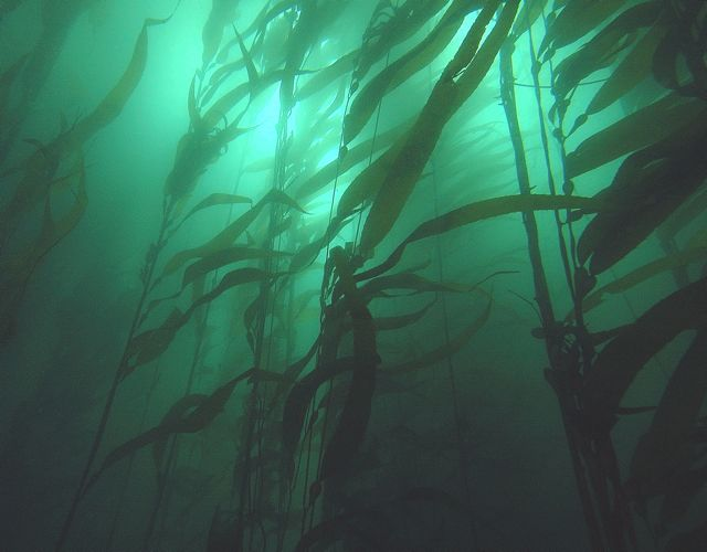Giant kelp grows up through the murk in search of light