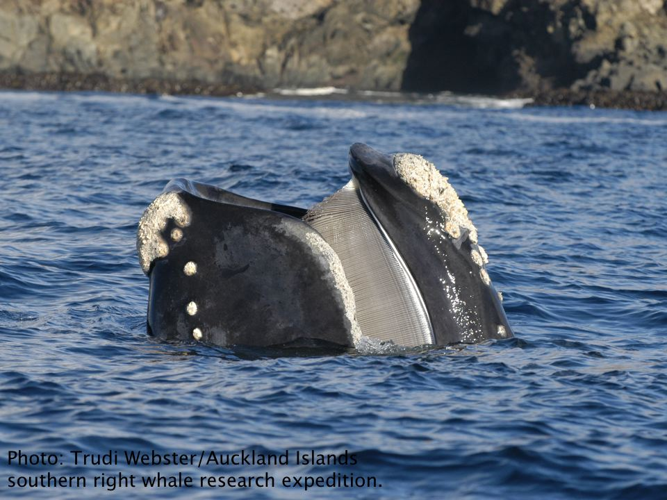 Southern rights are baleen whales, and feed upon zooplankton such as copepods and euphausids.
