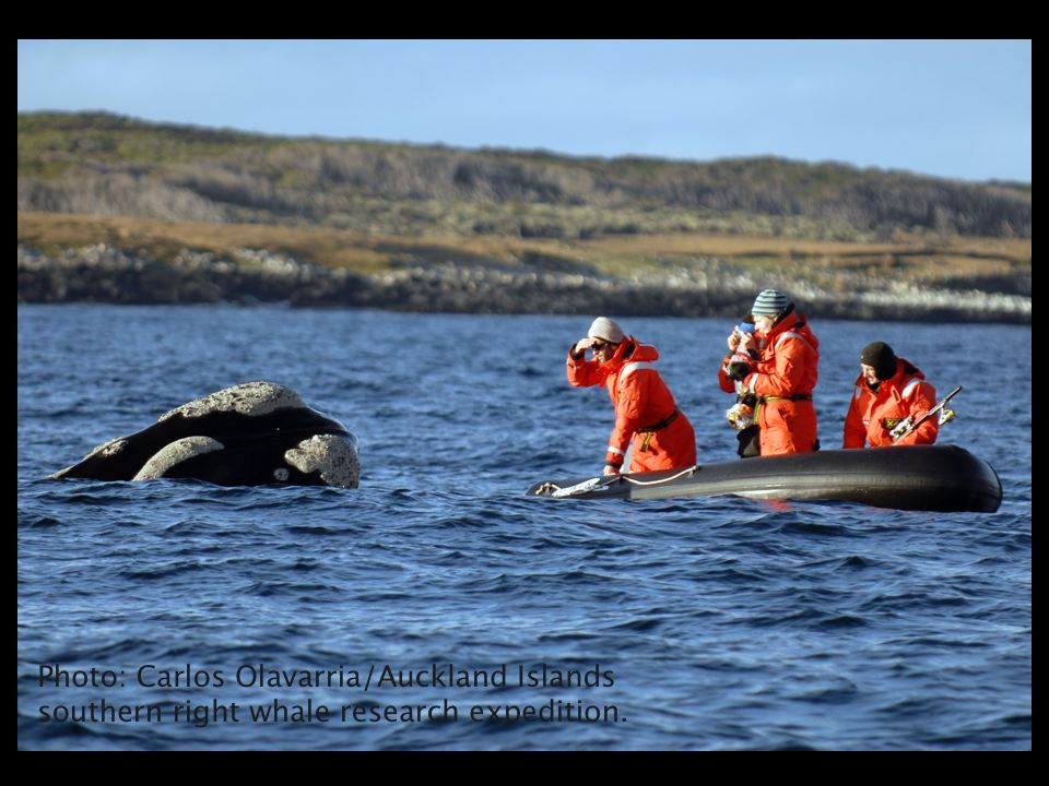 Southern right whales often approached the research vessels during surveys.