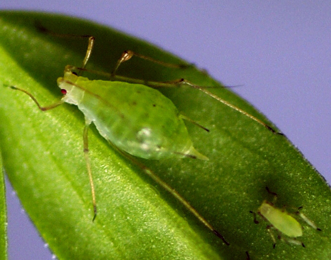 pea aphid 1