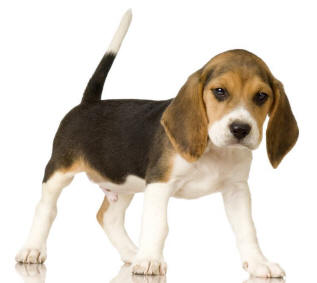 Beagles share 86 per cent of their genes with people.