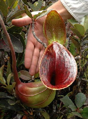 Nepenthes lowii Gunung Murud by Jeremiah Harris. (Source: wikipedia.)