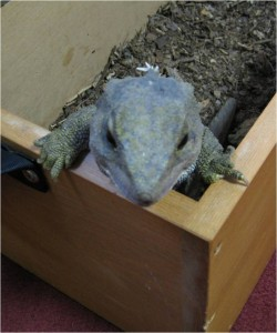 Spike the tuatara