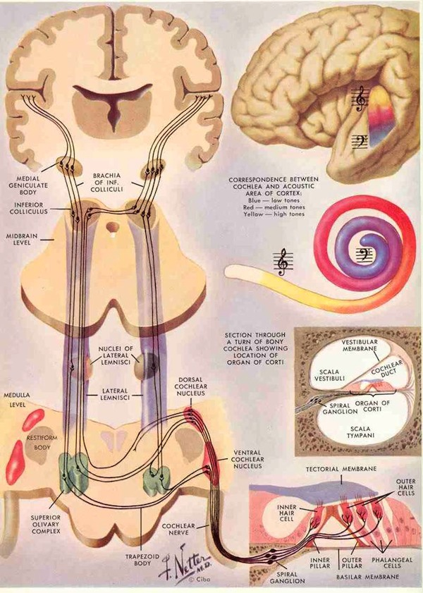 Auditory system (Source: Emergent Cognition through Active Perception website.)