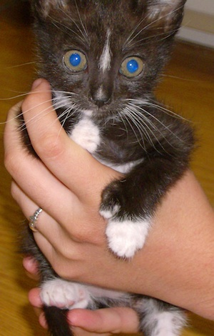 Zombie-eyed polydactyl kitten (Source: Wikimedia Commons.)