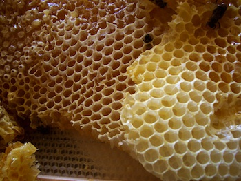 Honey comb; near the top-centre bees can be seen entering the combs (Source: Wikimedia Commons.)