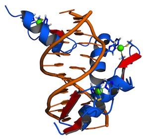 Zif268-DNA complex (Source: Wikimedia Commons.)