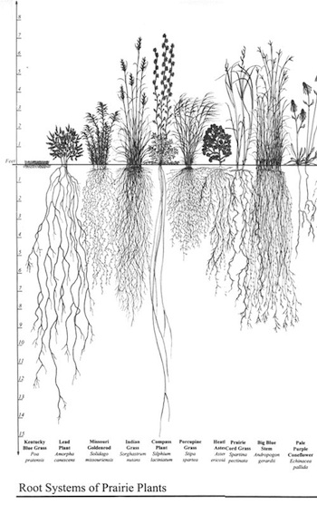 The roots of prairie plants (Source: Wikimedia Commons.)