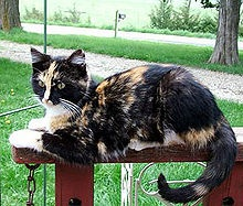 Tortoise shell cats are an example of mosaic X-chromosome inactivation (Image source: Wikimedia Commons.)