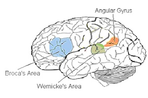 Language areas of the brain (Source: WIkimedia Commons.)