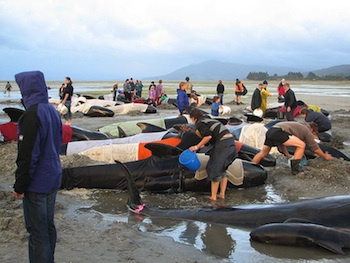 Beached whales Farewell Spit, New Zealand (2005, Wikimedia Commons)