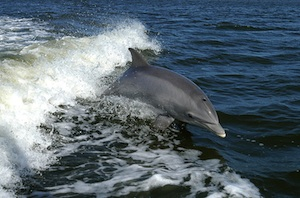 Bottlenose dolphin in bow wave. (Source: Wikimedia Commons.)