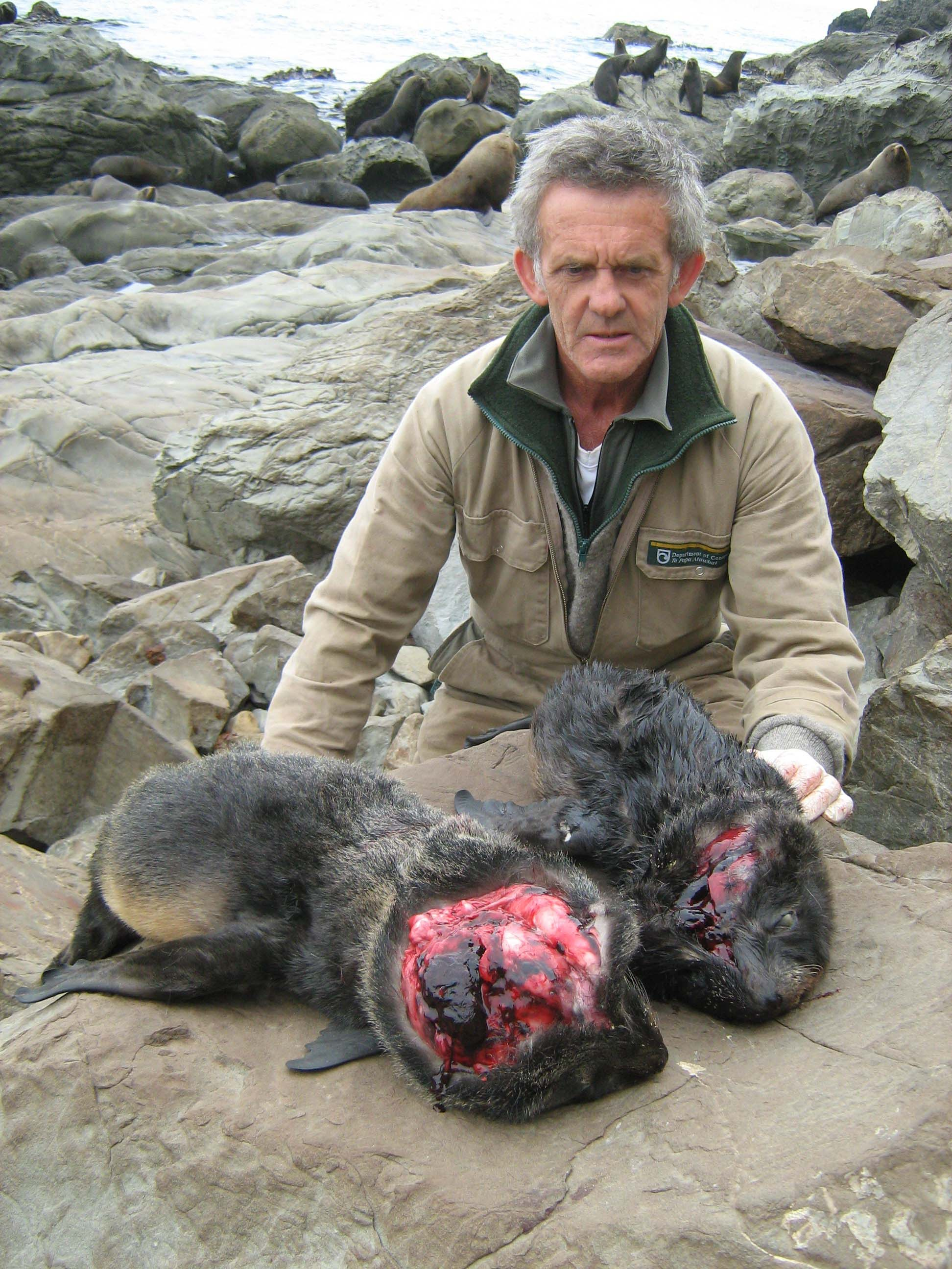 Mike Morrissey and seal pups  source: Department of COnservation