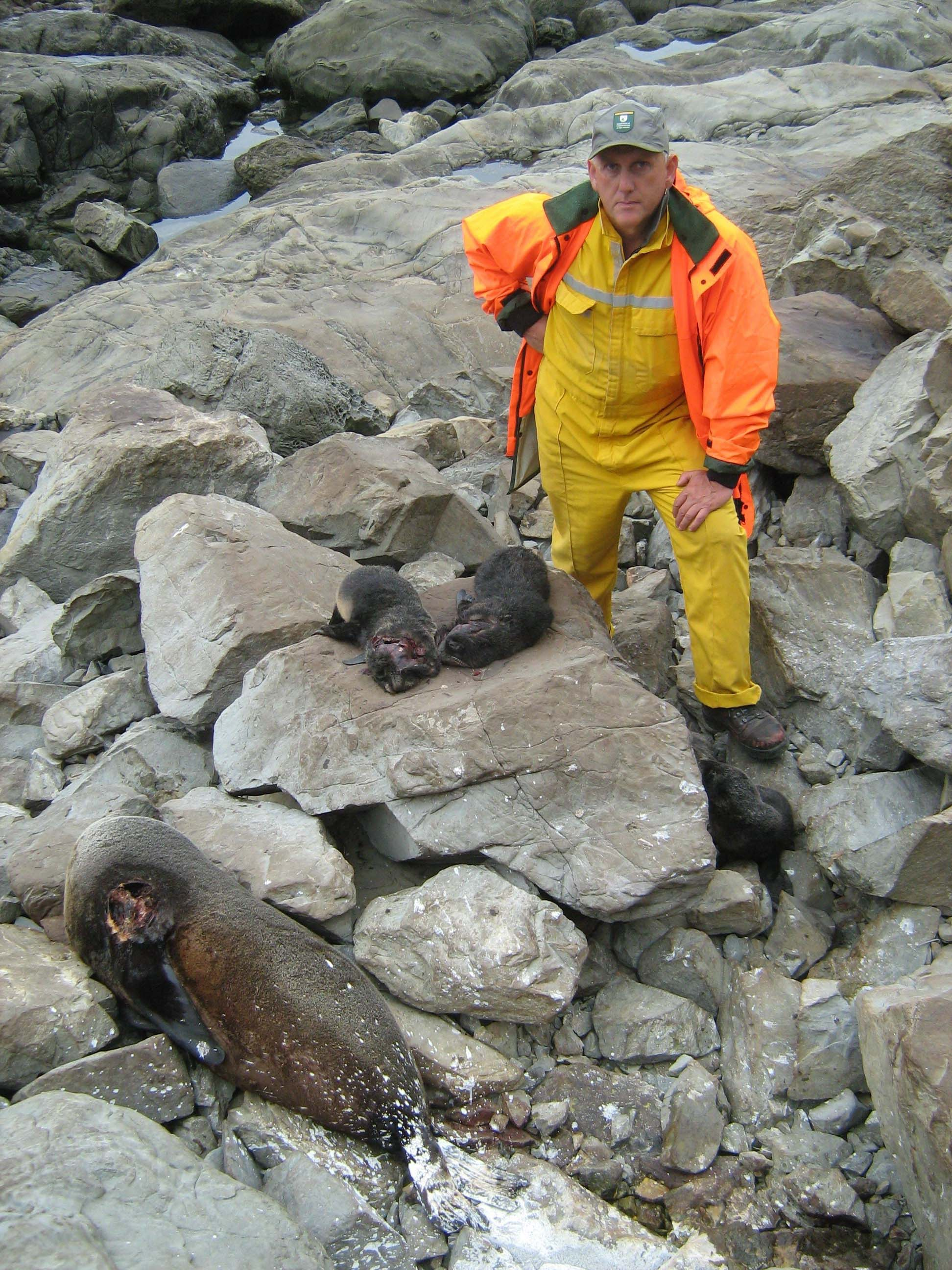 Phil Bradfield and seals  Source: Department of Conservation