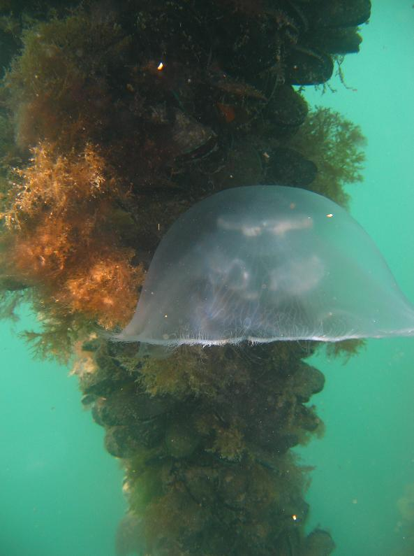 Moon Jelly near a mussel line
