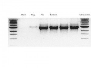 Example of PCR samples visualised by gel electrophoresis