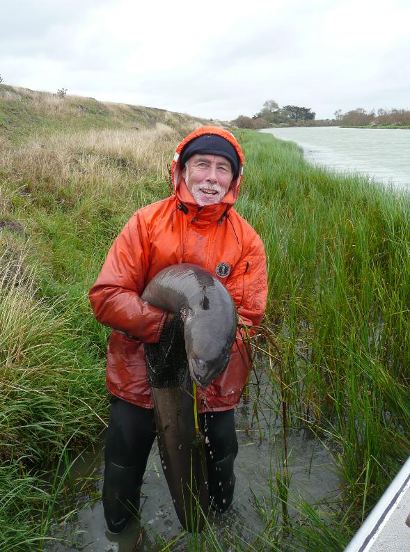 The longfin eel that Don jellyman is holding was 1.5 m long and weighed 14 kg. It was caught from a tributary of Lake Ellesmere (Te Waihora) in March 2010, and was returned unharmed back to the river. Source NIWA
