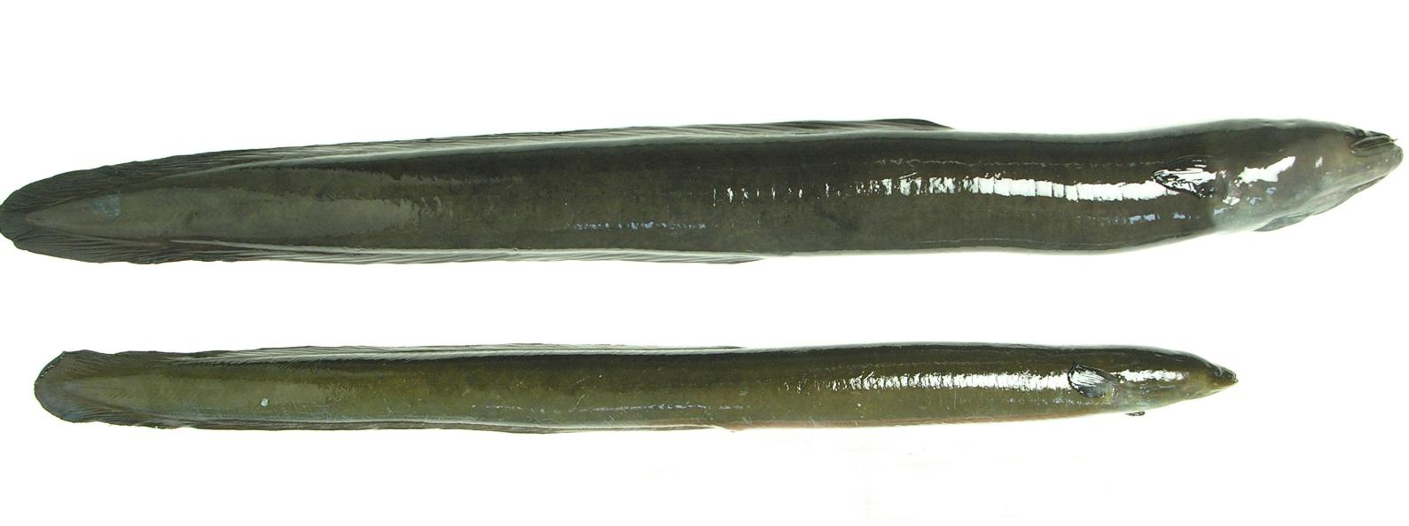 Longfin eel (top) and shortfin eel source: NIWA