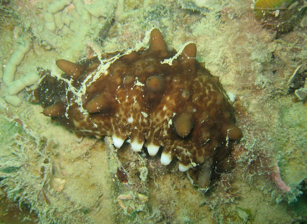 Sea cucumber Photo credit    Kimberley Maxwell, NIWA