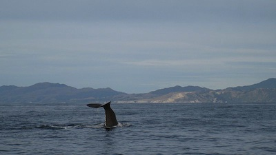 Whale watching, Kiakoura (Source: WIkimedia Commons.)