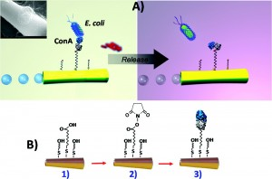 Figure showing the capture and subsequent release of E.coli bacteria by the microengine via a simple change in pH
