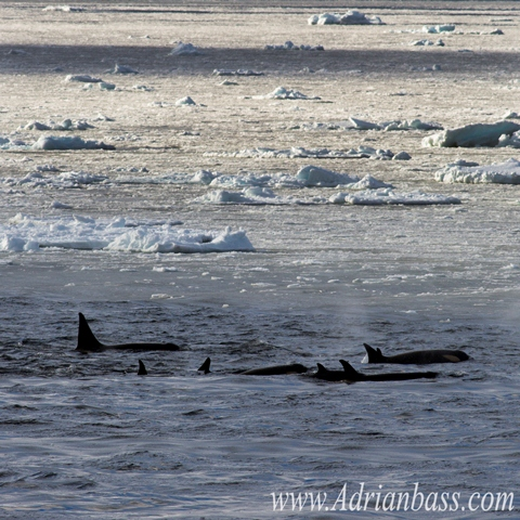 Orcas in the Antarctic ocean. [Adrian Bass]