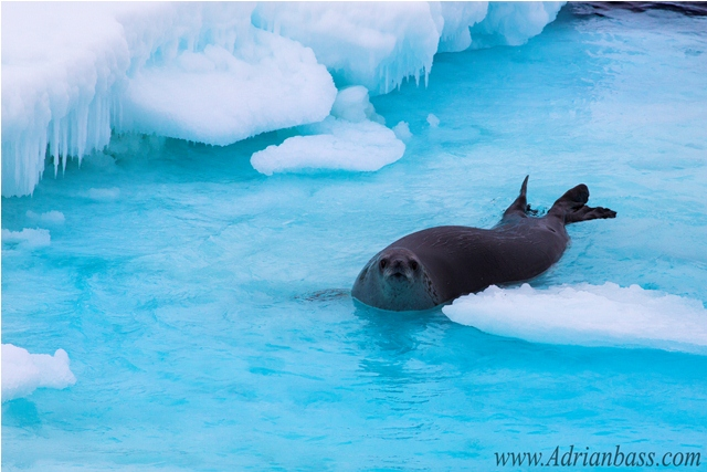 Seal swimming in the sea ice. [Adrian Bass]