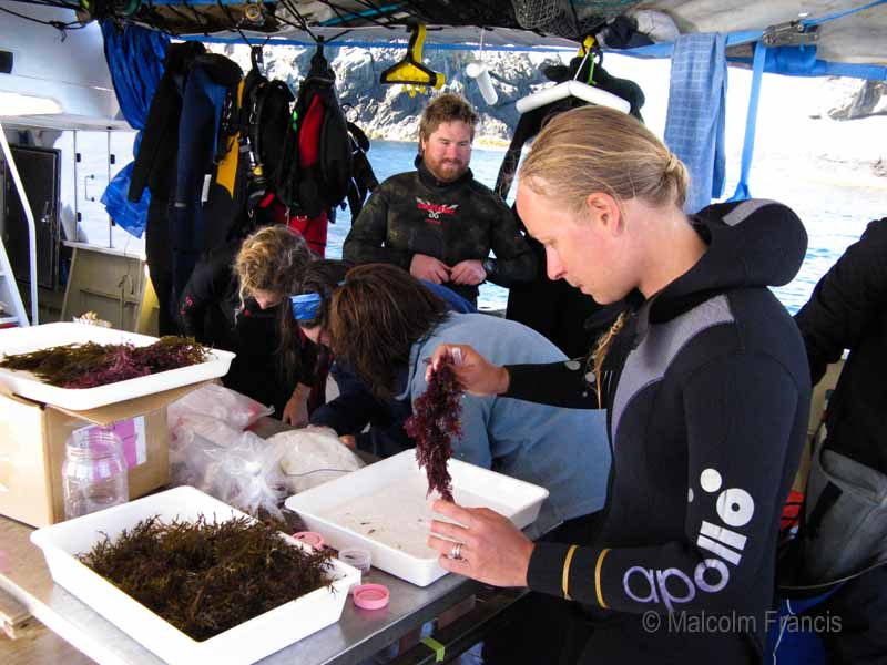 Severine Hannam from Auckland Museum investigates some seaweed collected during the first dive of the Three Kings Islands  Marine Expedition.