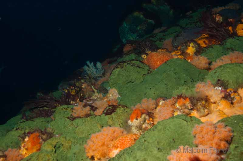 A riot of multi-coloured sponges encrust steep underwater cliffs at the Three Kings islands.