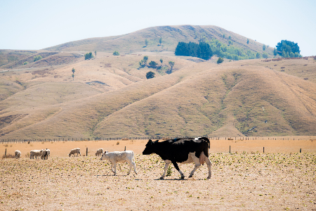 Wairarapa drought, February 2013. (Credit: D. Allen, NIWA)