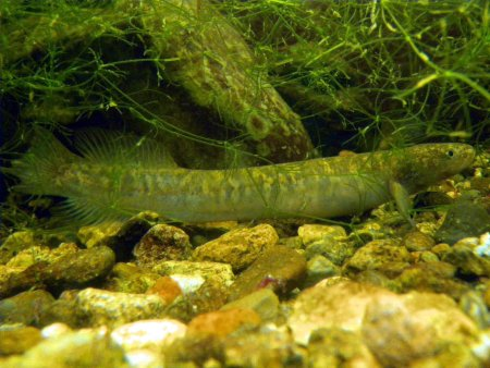 Brown mudfish (Neochanna apoda).(Photo: Alton Perrie)