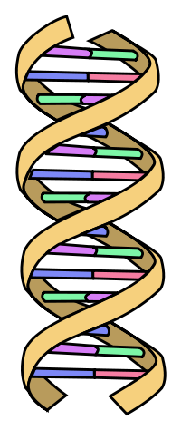 How To Spot A Badly Draw Dna Helix further File DNA structure and bases color FR moreover Sequencing also 1 moreover Meiosis. on dna diagram labeled