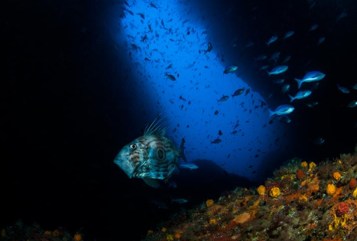 A John Dory cruises at around 40 metres past the entrance to Northern Arch at the Poor Knights Marine Reserve, northern New Zealand. The reserve has been in place since 1981 and is now a haven for marine life. Source: NIWA