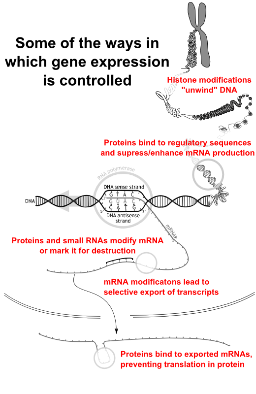 Mecahanisms by which gene expression is controlle
