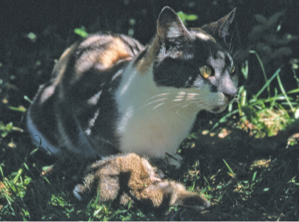 Dr. John Flux's cat, Peng You, who brought home some of the many prey she killed over 17 years, 1988-2005 (Source: ).
