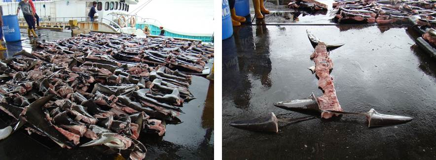 Shark Fins via Interpol Press Release
