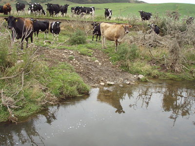 Cattle crossing in Southland. (A. Wright-Stow)