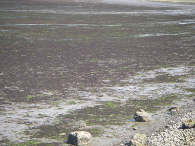 Sea lettuce (green) and Gracilaria chilensis (red) on the mudflats.
