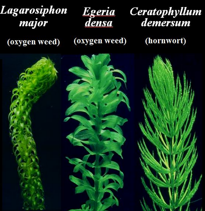 Three types of weeds  Source: NIWA