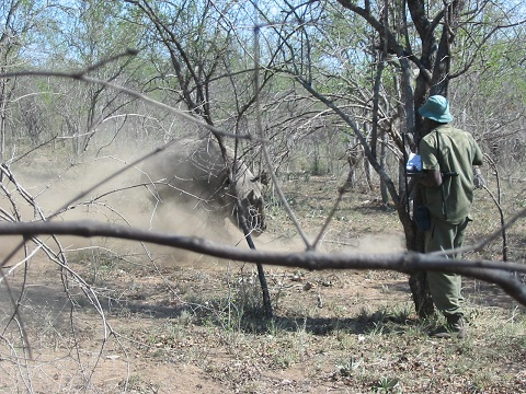 Neto - field assistant and rhino ranger - and I shelter behind tree trunks as Alice mock charges. Black rhino, when not frightened away, can be aggressive towards people and so make themsleves as easy, and thrilling, target for hunters.