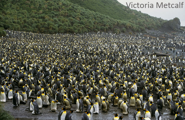 Macquarie Island is home to a diversity of megafauna species, present in large numbers.
