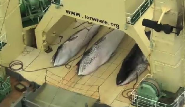 Sea Shepherd footage of Japanese whalers