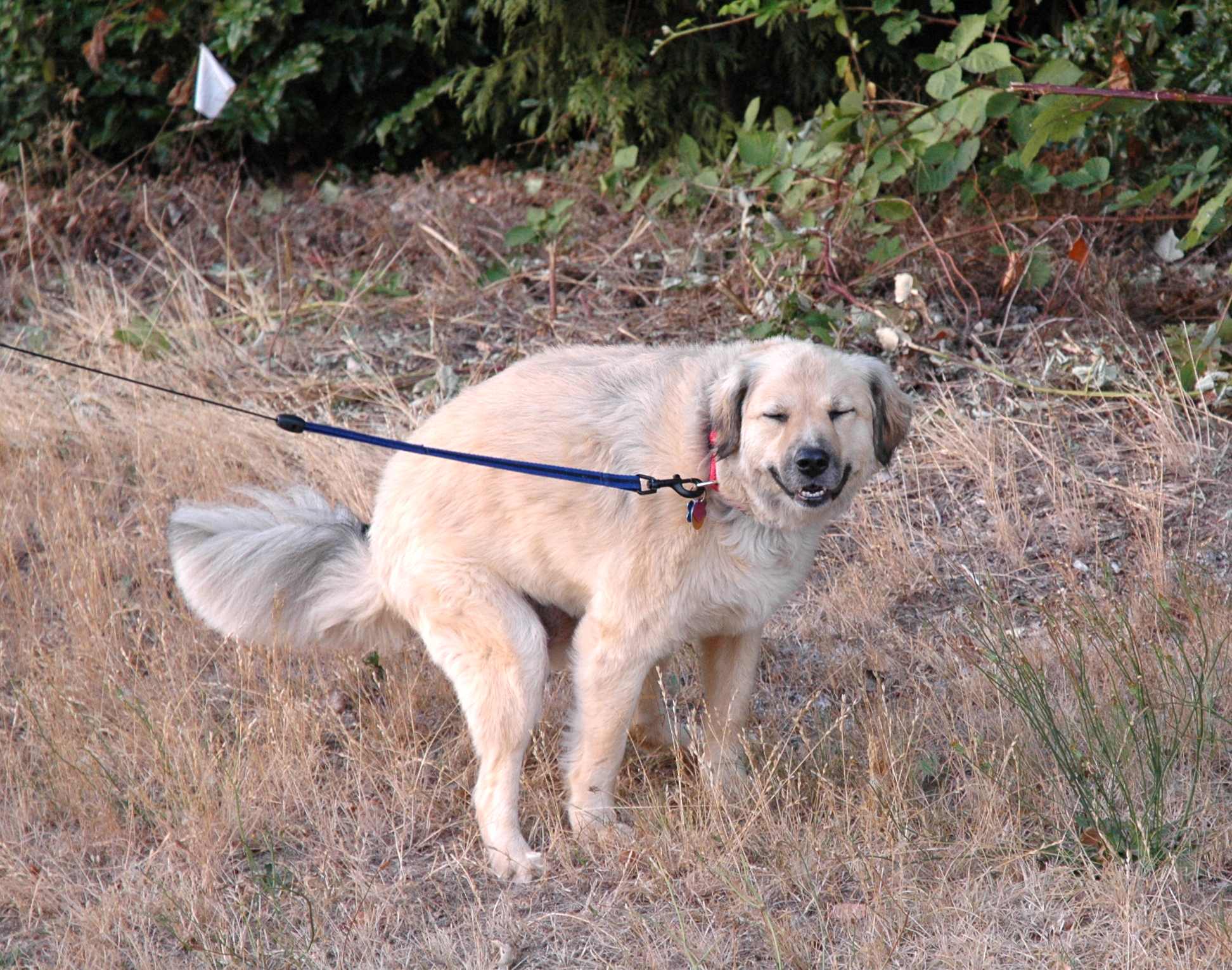 Just why dogs use the magnetic field to align themselves while defecating is still a mystery that only they know. Image source: Wikimedia Commons, uploaded by Brandon Weeks.