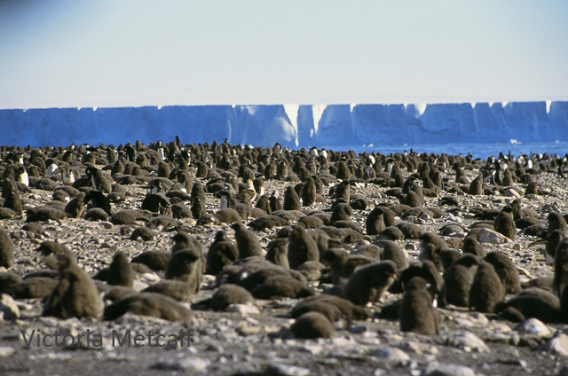 Adelie penguin chicks on Franklin Is, Antarctica