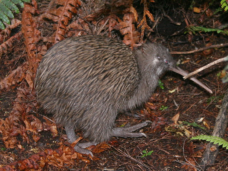 Remarkably it looks like the diminutive Kiwi is the closest living relative of the extinct elephant bird. Image source: Wikimedia Commons uploaded by Glen Stewart.