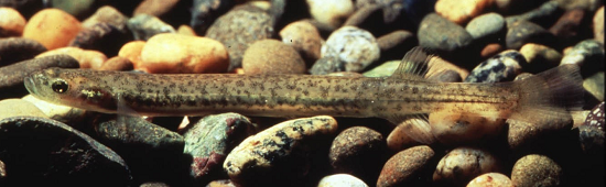 Lowland longjaw galaxias, Galaxias cobitinis – Nationally Critical. (Credit: DOC, Coastal Otago)