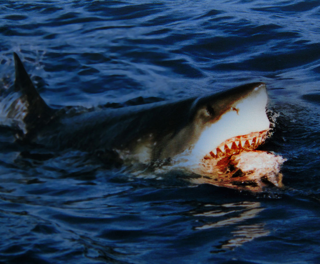 Great white sharks can't choke. Image credit: Wikimedia Commons, Brocken Inaglory