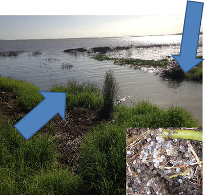 An inanga spawning site in the Waikato River at high tide. The blue arrows indicate where eggs (inset) were found.