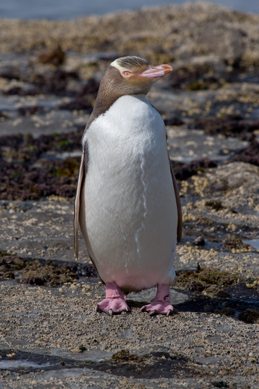 Yellow-Eyed Penguin  Source: Wikipedia